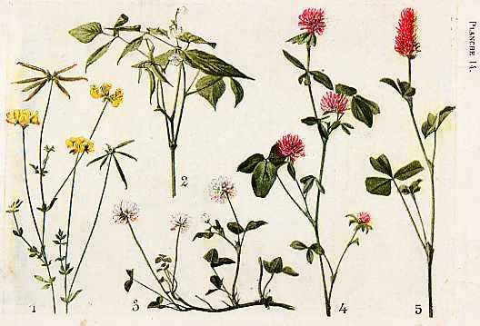 Papilionac es suite for Plante utile